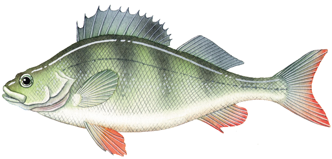 Black bream image